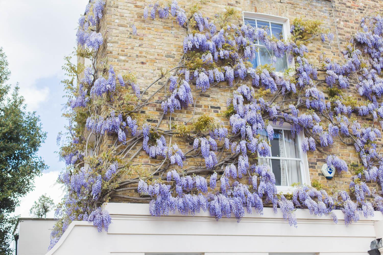 Beautiful wisteria in London.